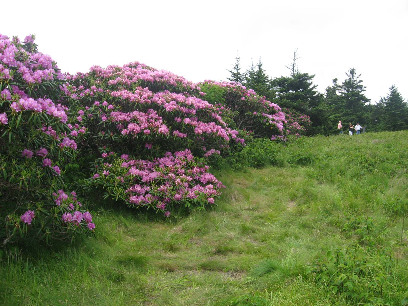 Rhododendron atop Roan Mountain.